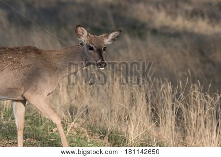 A White-tailed Deer Doe Giving a Suspicious Look