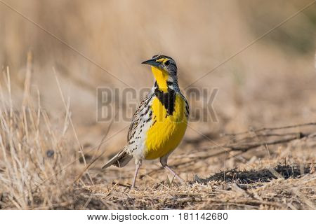 A Western Meadowlark Foraging for Food and Enjoying the Sunshine