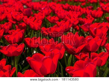 Blooming red tulips backlit by the sun