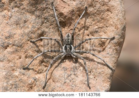 Wolf Spider (Lycosidae) on the underside of a rock
