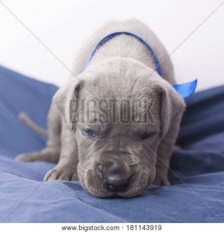 Great Dane puppy that is a purebred sniffing on a blanket