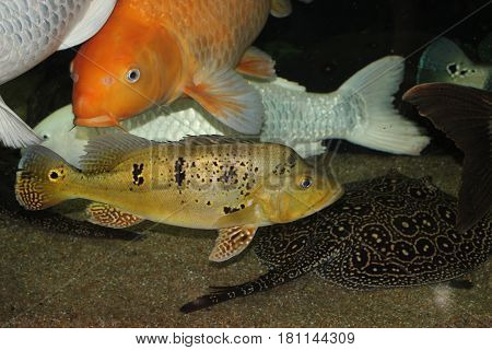 Platinum and gold carps perfectly live with cichla kelberi and pearl stingray - Potamotrygon Sp. Pearl Ray - in the aquarium. In the foreground is the kelberi. It's two years old. And it's 40 cm.