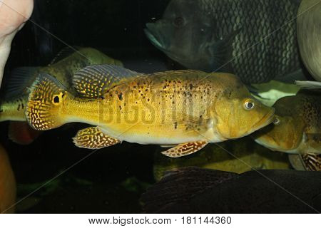 This is cichla kelberi. It's a male. The fish has an excellent yellow striped color. It's two years old. And it's 40 cm.