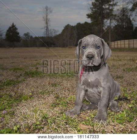Dark starting to fall on a field with a Great Dane puppy purebred