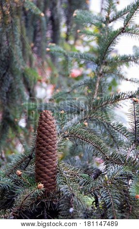 Brown pinecone on a branch of pine wood