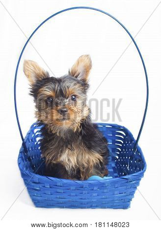 Bright blue basket with a Yorkie puppy inside