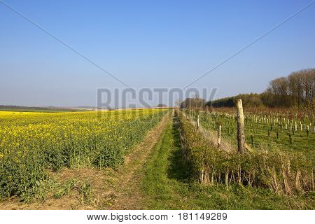 Oilseed Rape Crop And Young Plantation