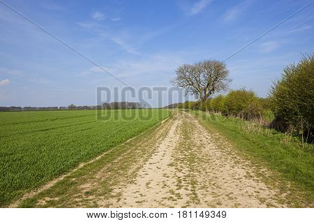 Country Bridleway With Wheat Field