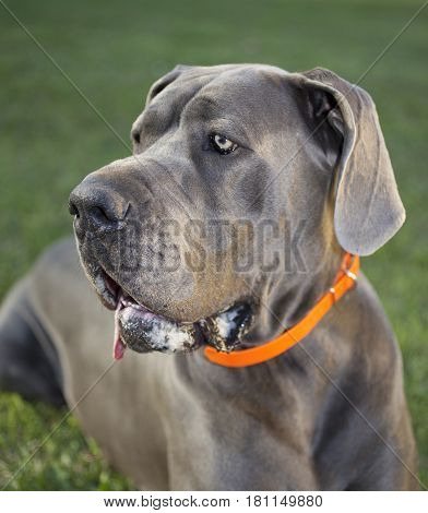 Purebred Great Dane portrait as the sun is setting