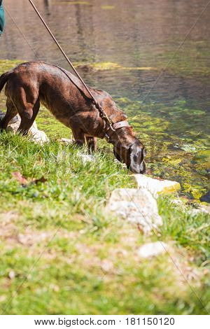 Hanoverian hound with his head down sniffing at water