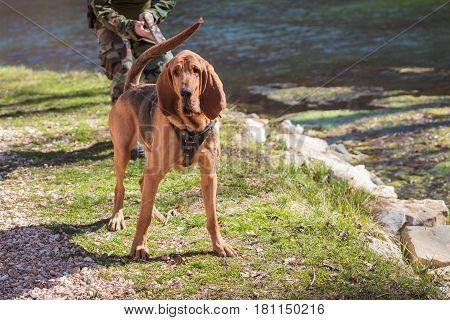 Bloodhound dog with water and a person's hands in the background.
