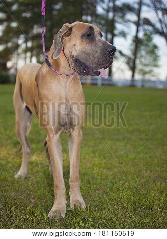 Brown Great Dane purebred with its leash on the grass