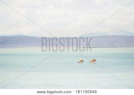Two pink flamingos in the lagoon on the plateau Altiplano Bolivia