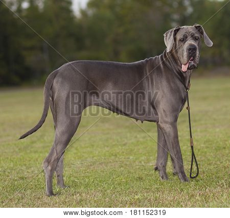 Blue Great Dane female purebred on a grassy field