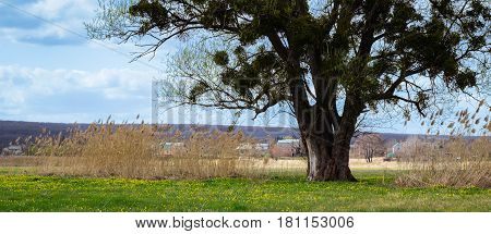 The thick trunk of a tall tree against a blue sky with clouds on a green meadow beneath it grow beautiful yellow flowers a great place for meditation and relaxation no one around