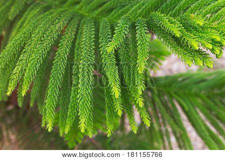 Norfolk Island Pine Araucaria heterophylla Araucaria excelsa branch Morocco
