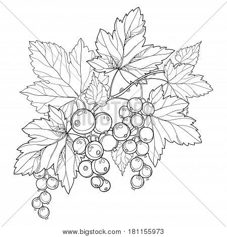 Vector branch with outline Black currant, bunch, berry and leaves isolated on white background. Ornate floral elements with blackcurrant in contour style for summer design and coloring book.