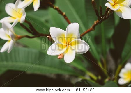 Blooming Plumeria flowers and green leaves growing in the garden. Beautiful and very fragrant white and yellow frangipani flower, tropical nature photography