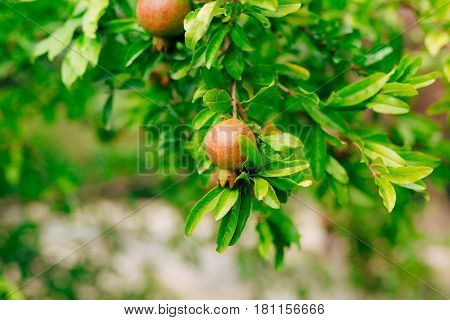 The medium-sized pomegranate fruit on the tree green in Montenegro.