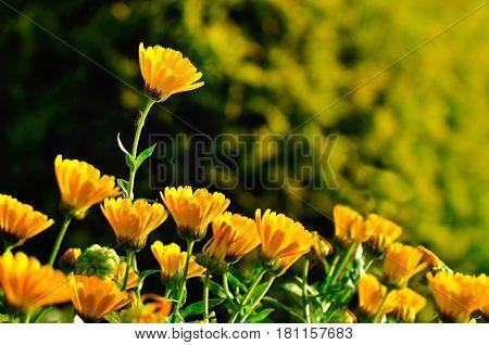 Spring flowers of calendula under soft morning spring sunlight. Focus at the upper flower. Spring flower landscape with spring flowers of calendula. Spring flower background