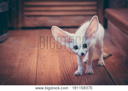 Watchful cute home pet puppy fox stared scared standing on wooden floor in rustic cabin with copy space