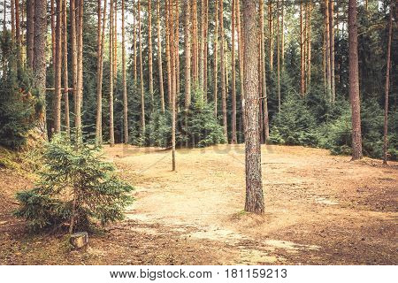 Spruce forest edge with pine trees and ground covered with fir needles in vintage colors