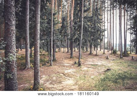 Vintage pine forest edge with ground covered with fir needles