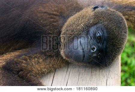 Closeup view of a woolly monkey relaxing near Iquitos Peru