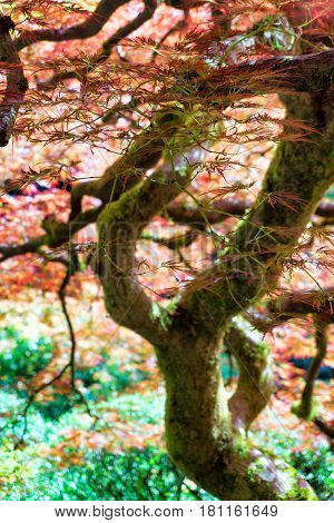 View of a red Japanese Maple Tree in Portland Oregon
