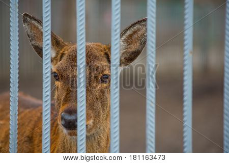 Little roe deer on the nature behind bars