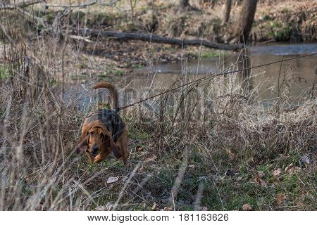 Bloodhound dog in a wooded area wearing a harness on long lead line
