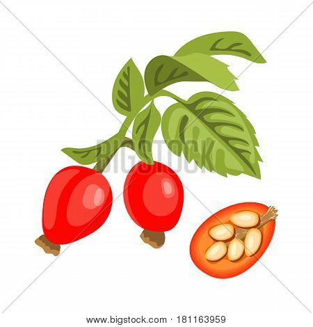 Rose hip twig with leaves, berries and seeds. dogrose or wildrose with pods. Whole and half. Close up. Vector illustration. For cosmetics, medicine, health care, ointments, perfumery, aromatherapy