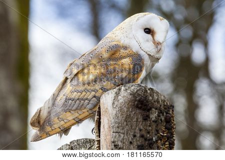A Barn Owl perched on a tree stump.