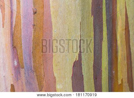 Strips of Colorful Bark: isolated close up of rainbow eucalyptus tree bark
