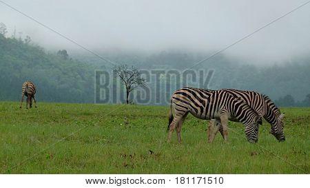 Zebras in Swaziland. Foggy landscape. Mammals. Africa