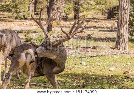 a big mule deer buck in an Arizona pine forest