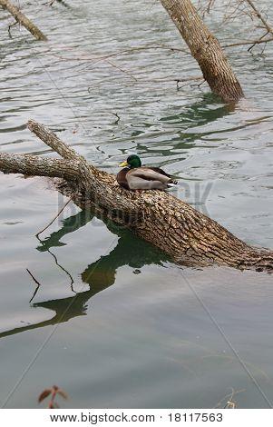 Duck On Tree Trunk