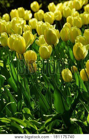 Yellow flower in the garden, tulip, Liliaceae