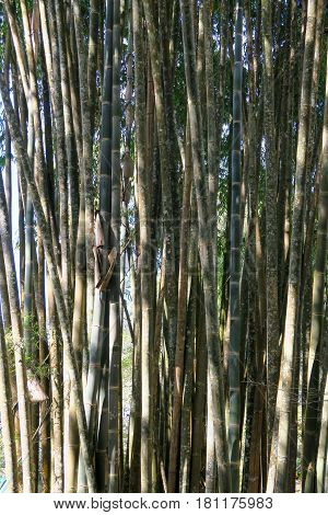 big bamboo trees growing together in Thailand
