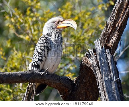 Picture of a southern yellow-billed hornbill in South Africa.