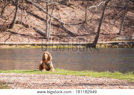 Bloodhound dog laying down with woods and water in the background.