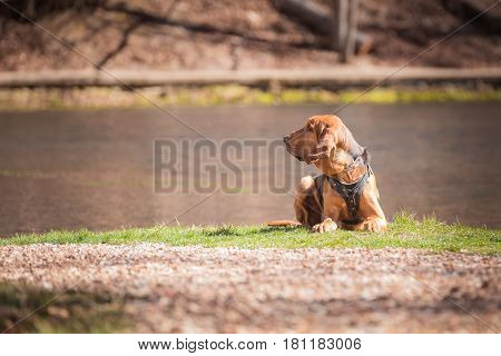 Bloodhound dog laying down and looking to it's side.