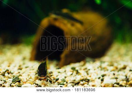 Siamese Fox. Two aquarium fish. Snag tree. Decoration. Aquarium pebbles.