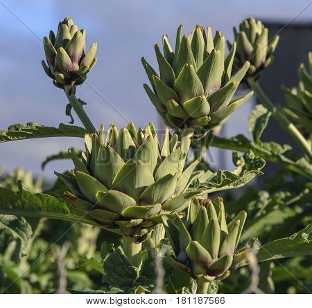 artichoke plant growing in the garden in Dalat