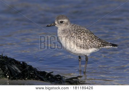 A Black-bellied Plover, pluvialis squatarola in winter plumage