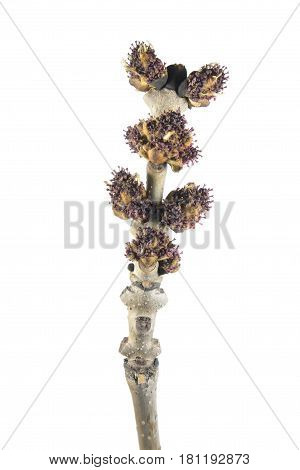 Spring branch of ash (Fraxinus excelsior) with buds and flowers isolated on white background