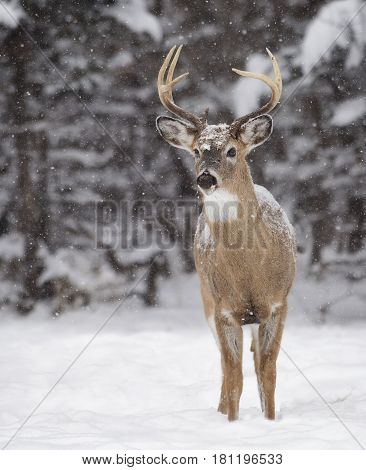 White-tailed deer buck stands among the falling snow, and winter landscape.  Winter in Manitoba, Canada
