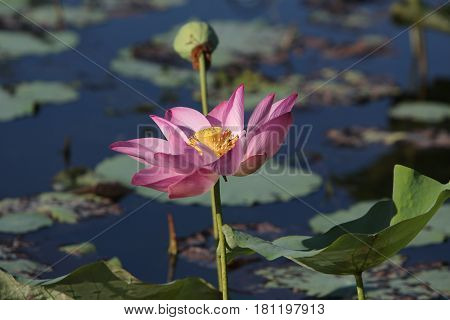 The Lotus Flower.Background is the lotus leaf and lotus flower and lotus bud and lotus flower