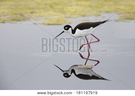 Black-necked Stilt Foraging In A California Pond