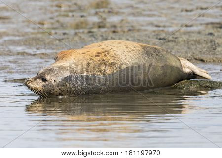 Harbor Seal Resting On The Shore Of A California Estuary